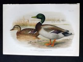 Baker & Gronvold Indian Ducks 1908 Bird Print. Common Wild Duck or Mallard